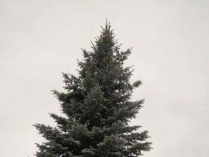 Голубую ель срубили и поставили на площади в Сокольском
