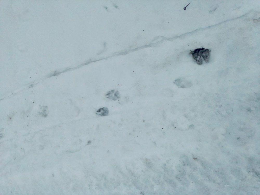 Волки угрожают жителям Шахунского района - фото 1
