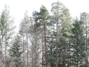 В Семеновском районе незаконно вырубили елки на 1,3 млн рублей