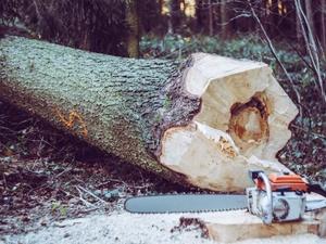 Жителю Чкаловска грозит до семи лет колонии за вырубку девяти деревьев
