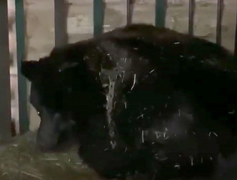 Переехавшие из зоопарка «Мишутка» медведи обзавелись потомством в Балахне - фото 1