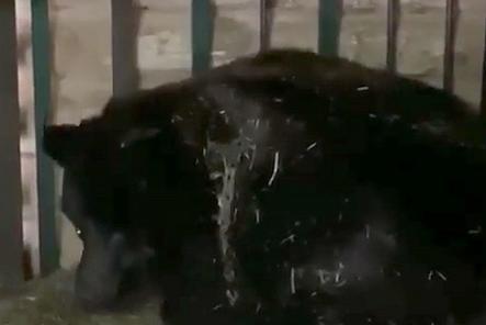 Переехавшие из зоопарка «Мишутка» медведи обзавелись потомством в Балахне