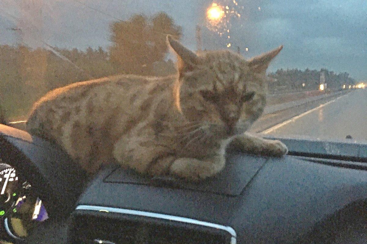 История Сафари: как московский кот месяц выживал в болотах под Нижним Новгородом - фото 1