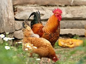 В Нижегородской области в мясе птицы обнаружили кишечную палочку