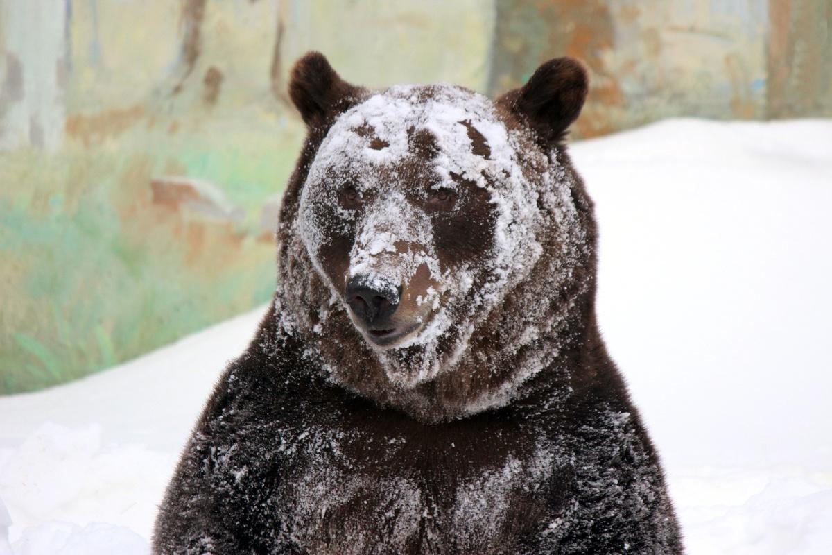 Медведь Балу из зоопарка «Лимпопо» проснулся после зимней спячки - фото 1